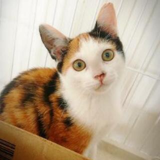 (交渉中)三毛猫♀️🐈 元気いっぱいの子猫 里親募集 関西 和歌山