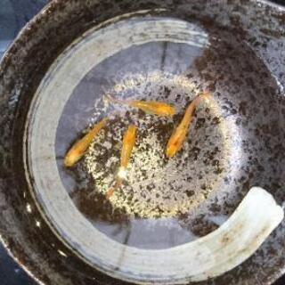 黄金黒鱗ホタル(ヒカリ)