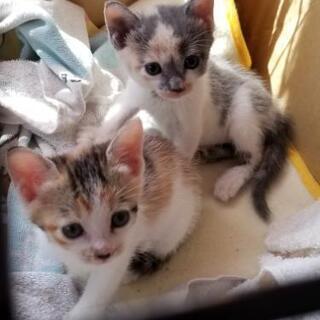 三毛猫2匹メス