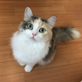 綺麗な瞳のマンチカンちゃん