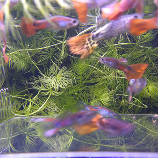 熱帯魚 グッピー 赤系のミックスグッピー 02