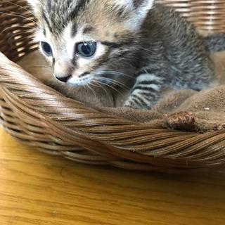 急募☆6月27日生まれのオスの仔猫☆2匹
