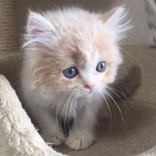 子猫*マンチカン&ミヌエット*ブリーダー
