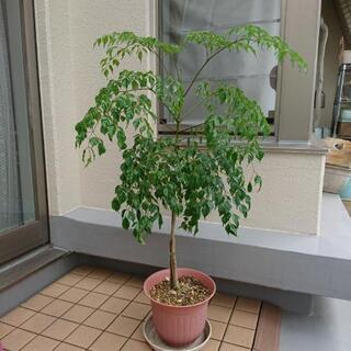 【値下げ】観葉植物 ステレオスペルマム(ラデマキアシニカ)