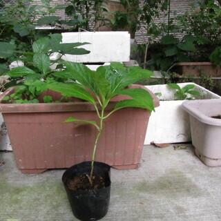 紫陽花14鉢あります。