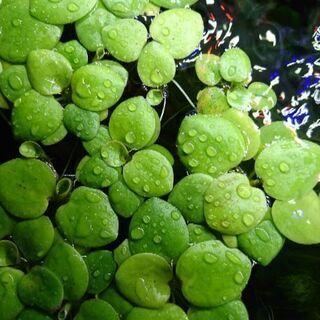 【値下げ】水草マツモ&浮き草アマゾンフロッグビット