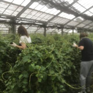 畑での収穫作業