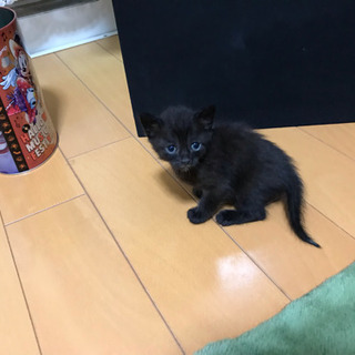黒猫ちゃん1匹の里親様の募集です。5匹は決まりました!