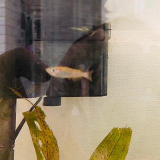 金魚1匹/めだか2匹 もらってください