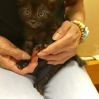 黒猫男の子生後約2カ月の画像