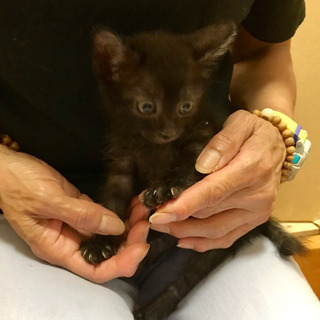 黒猫男の子生後約2カ月 - 猫
