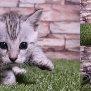 【ベンガル】超希少なプラチナベンガル子猫販売開始!!