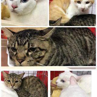 緊急‼️白猫姉妹、茶白、黒キジ、キジミケの里親募集!
