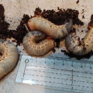 カブトムシ 幼虫 6匹