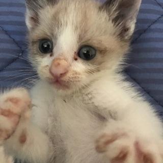 シャムのミックス子猫オス