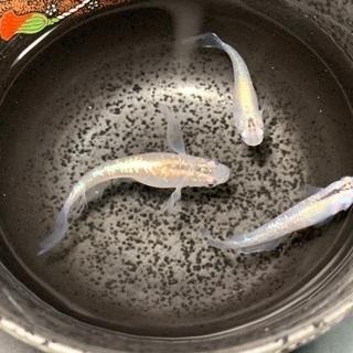 メダカ 幹之ラメ みゆきラメ 有精卵 20+α 発送可能