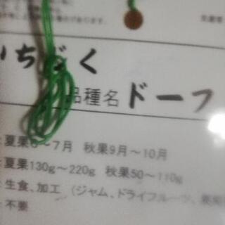 日本種無花果