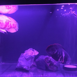 熱帯魚(ブラジル産ワイルドオスカー) 水槽セット900