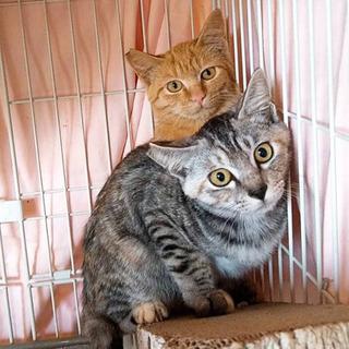 避妊手術済み仔猫
