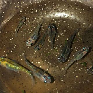 星輝峰メダカの若魚が生んだ卵
