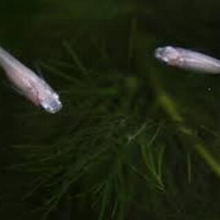 白メダカ(1.5~2.5cm)
