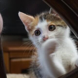 生後2ヶ月 かわいい三毛の女の子 すてきなご縁をいただきました