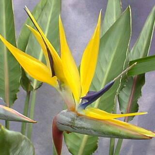 ストレリチア(極楽鳥花)黄花ゴールドクレストの種子10個