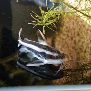 ストライプトーキングキャット(熱帯魚 アクアリウム 水槽 水草 ...
