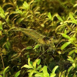 ミナミヌマエビ Sサイズ(無料 水草 メダカ 熱帯魚 アクアリウム )