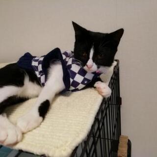 旅猫リポート的黒白,はちわれ,にゃんこ