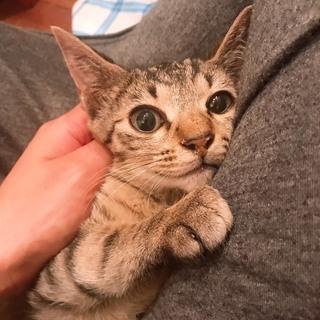 穏やかな美人さんキジ猫3ヶ月♀