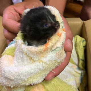 生まれて間もない子猫を保護してます😢黒い子猫です。