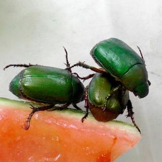 コガネムシ (アオドウガネ) 雌雄不明 自由研究 観察用 飼育用昆虫