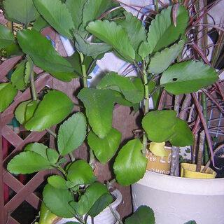 観葉植物 子宝草