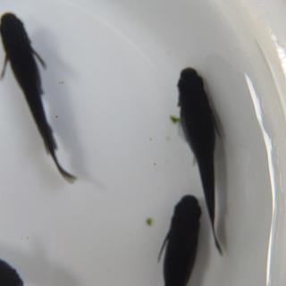メダカ 卵 オロチ150個位 卵トリーナー付き