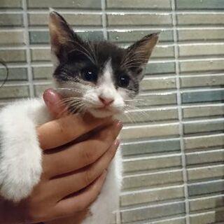 (生後2ヶ月くらい)可愛いハチわれ子猫ちゃん − 茨城県