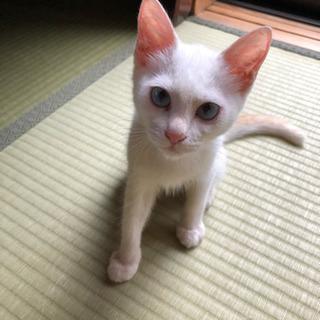 生後3ヶ月 白猫ちゃん 女の子