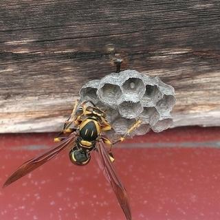 蜂の巣の駆除いたします!ハイハイネットまでご連絡ください!
