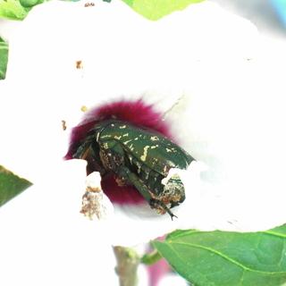 カナブン(シロテンハナムグリ)雌雄不明 自由研究 観察用 飼育用昆虫