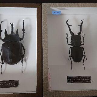 外国産大型カブト・クワガタ標本(箱付き)