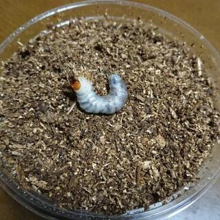 【写真追加】外国産ヒラタクワガタ幼虫:本年採取分