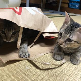 キジトラの子猫兄妹、里親さん募集☆
