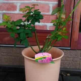 植物 薔薇 苗 ハイディクルムローズ 花