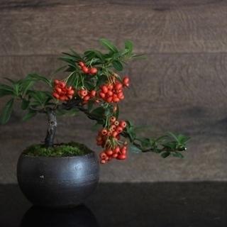 現代インテリアにあうモダン盆栽教室 〜秋の実盆栽と紅葉を楽しむ盆栽〜
