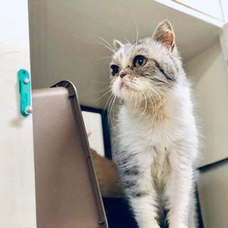 引退猫さん エキゾチックショートヘアー♀