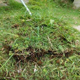 芝 TM9 高級 トヨタ開発芝  約30×30以上 雑草混じり