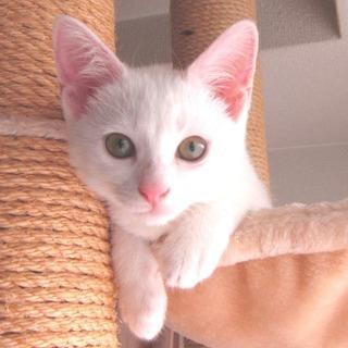 真っ白可愛い白猫ゆいちゃん♪