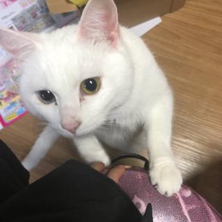 白猫オッドアイ - 宮城郡