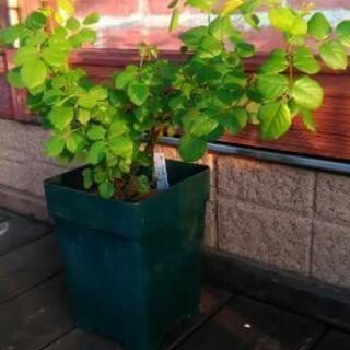植物 薔薇 苗 ER クリストファーマーロウ 花