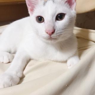 募集再開しました! 生後3ヶ月の白猫ちゃんです